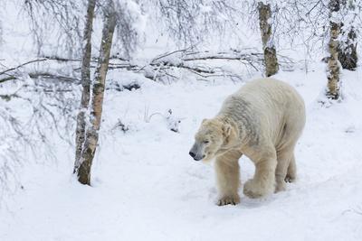 https://imgc.allpostersimages.com/img/posters/polar-bear-ursus-maritimus-male-captive-highland-wildlife-park-kingussie-scotland-u-k_u-L-Q12SEIJ0.jpg?artPerspective=n