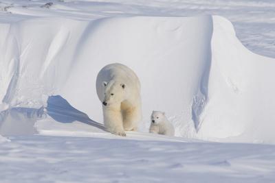 https://imgc.allpostersimages.com/img/posters/polar-bear-with-spring-cub-anwr-alaska-usa_u-L-PN6SJ70.jpg?p=0