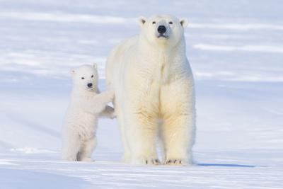 https://imgc.allpostersimages.com/img/posters/polar-bear-with-spring-cub-anwr-alaska-usa_u-L-PN6SK10.jpg?p=0