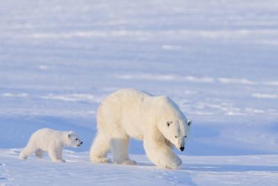 https://imgc.allpostersimages.com/img/posters/polar-bear-with-spring-cub-anwr-alaska-usa_u-L-PN6SLA0.jpg?p=0