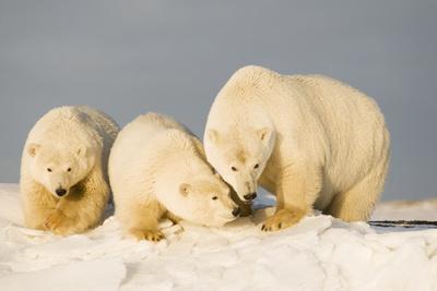 https://imgc.allpostersimages.com/img/posters/polar-bear-with-two-2-year-old-cubs-bernard-spit-anwr-alaska-usa_u-L-PN6W7G0.jpg?p=0