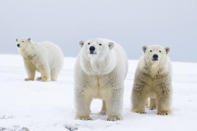 https://imgc.allpostersimages.com/img/posters/polar-bear-with-two-2-year-old-cubs-bernard-spit-anwr-alaska-usa_u-L-PN6Y490.jpg?p=0