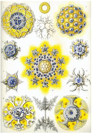 Polycyttaria Nature Art Print Poster by Ernst Haeckel