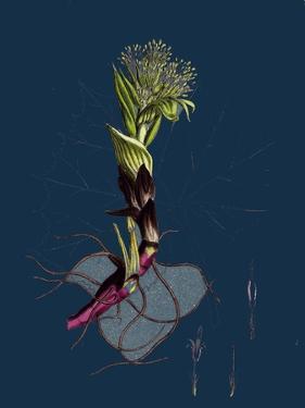 Polygonum Aviculare, Vulgatum; Common Knot-Grass