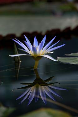 Blue Lotus Water Lily and Reflection by PomInOz