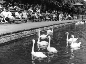 Pond Swans