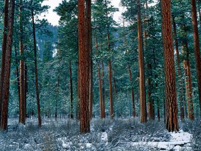 Ponderosa pines in snow, Deschutes National Forest, Jefferson County, Oregon, USA