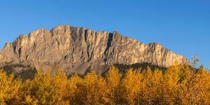 Poplar trees in autumn, Mount Yamnuska, Kananaskis Country, Alberta, Canada