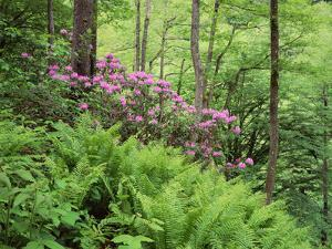 Mountain Forest with Flowering Rhododendron, Mtirala National Park, Georgia, May 2008 by Popp