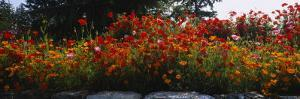 Poppies Along a Stone Wall, Fidalgo Island, Skagit County, Washington, USA