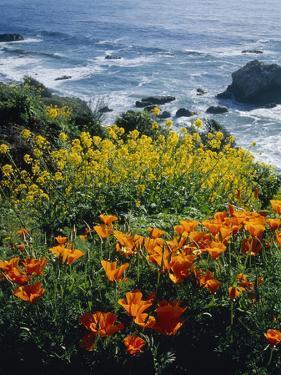 Poppies Along Coast CA USA