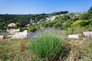 Poppies and Lavender in Bloom, Brac Island, Dalmatia, Croatia