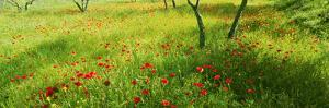 Poppies field in bloom, Umbria, Italy