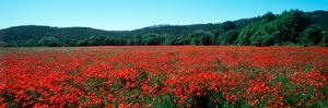 Poppies Field in Spring, Provence-Alpes-Cote D'Azur, France