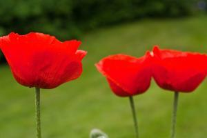 Poppies in a Row Photo Print Poster