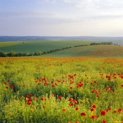 https://imgc.allpostersimages.com/img/posters/poppies-on-the-south-downs-sussex-england_u-L-P2QWWP0.jpg?artPerspective=n