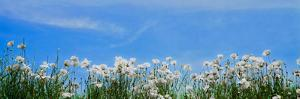 Poppy field in bloom, Tuscany, Italy