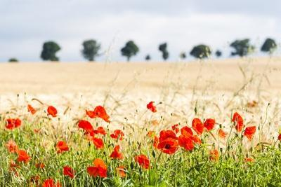 https://imgc.allpostersimages.com/img/posters/poppy-field-in-northumberland-national-park_u-L-PQ8V8T0.jpg?p=0