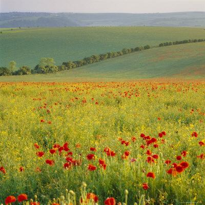 https://imgc.allpostersimages.com/img/posters/poppy-fields-south-downs-sussex-england-uk-europe_u-L-P2QWX30.jpg?artPerspective=n