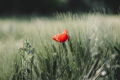 https://imgc.allpostersimages.com/img/posters/poppy-seed-blossoms-in-the-wheat-field_u-L-Q1EXQ2V0.jpg?artPerspective=n