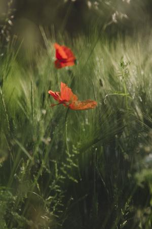 https://imgc.allpostersimages.com/img/posters/poppy-seed-blossoms-in-the-wheat-field_u-L-Q1EXQ720.jpg?artPerspective=n