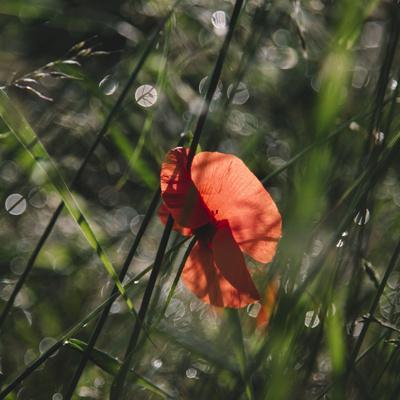 https://imgc.allpostersimages.com/img/posters/poppy-seed-blossoms-in-the-wheat-field_u-L-Q1EXQJV0.jpg?artPerspective=n