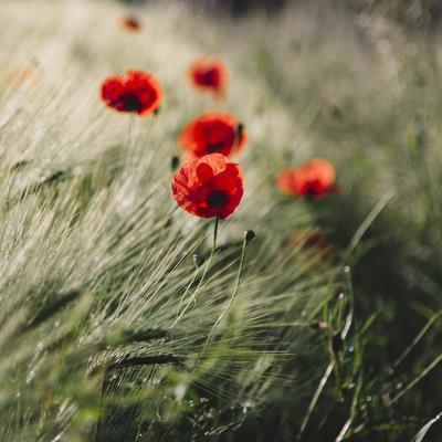 https://imgc.allpostersimages.com/img/posters/poppy-seed-blossoms-in-the-wheat-field_u-L-Q1EXR2P0.jpg?artPerspective=n