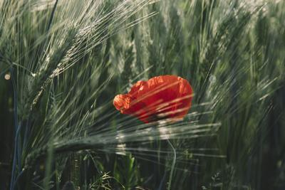 https://imgc.allpostersimages.com/img/posters/poppy-seed-blossoms-in-the-wheat-field_u-L-Q1EXRIG0.jpg?artPerspective=n