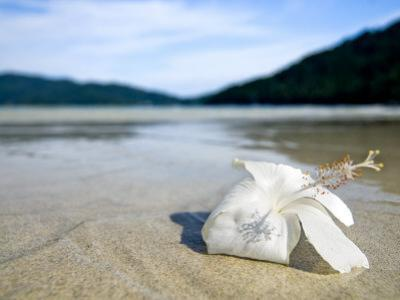 Hibiscus Flower on Beach, Perhentian Islands, Malaysia, Southeast Asia