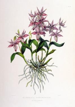 Barkeria Spectabilis by Porter Design