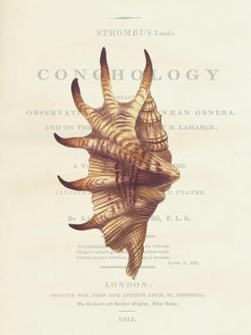 Conchology Strombus Lambis by Porter Design