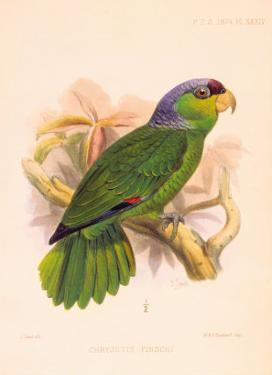 Joseph Smit Parrots Parrot Plate 34 by Porter Design