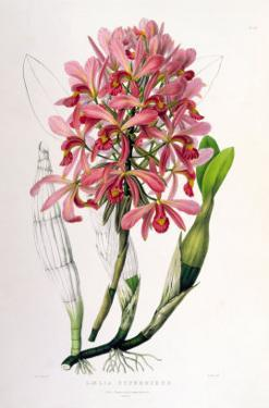 Laelia Superbiens by Porter Design