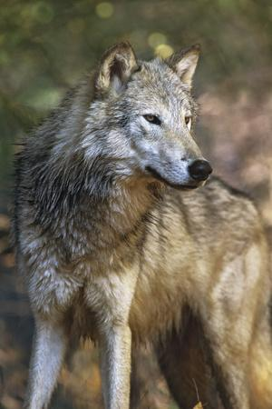 https://imgc.allpostersimages.com/img/posters/portrait-of-a-gray-wolf-montana_u-L-Q13C7FY0.jpg?p=0