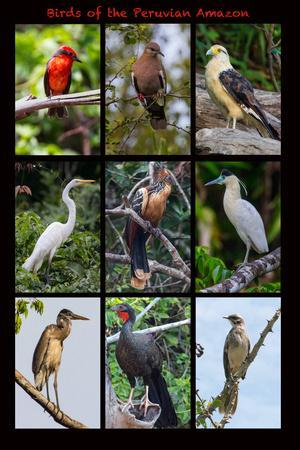 https://imgc.allpostersimages.com/img/posters/poster-featuring-nine-birds-founds-in-the-amazon-rainforest-of-northern-peru_u-L-Q1D0DFA0.jpg?p=0
