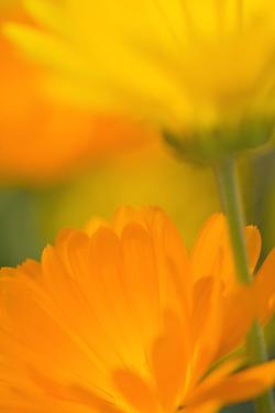 Pot Marigold Flowers