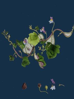 Potentilla Verna; Spring Cinquefoil