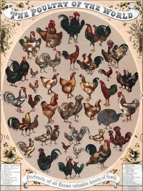 Poultry of the World Poster, 1868