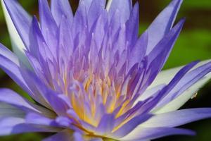 Purple Lotus by powerpig