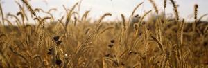Prairie Grass in a Field