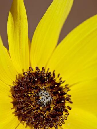 https://imgc.allpostersimages.com/img/posters/prairie-sunflower-helianthus-petiolaris-the-needles-district-canyonlands-national-park-utah_u-L-PFNAC40.jpg?p=0