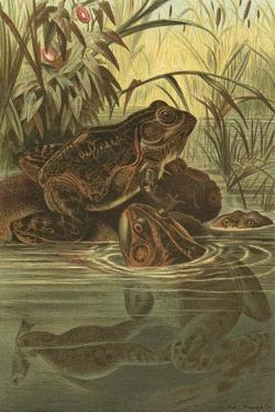 Pond Frogs by Prang