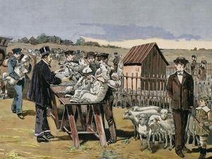 French Chemist and Bacteriologist. Vaccination of Sheep Against Anthrax, Agerville, France, 1884 by Prisma Archivo