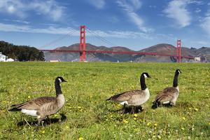 Gooses and Golden Gate Bridge by prochasson