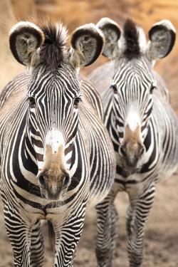 Wild Zebra by prochasson