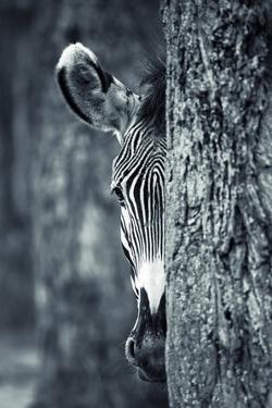Zebra Portrait by prochasson