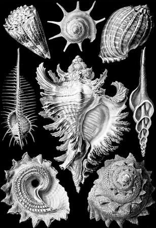 Prosobranchia Nature Art Print Poster by Ernst Haeckel