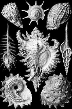 Prosobranchia Nature by Ernst Haeckel