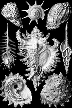 Prosobranchia Nature by Ernst Haeckel