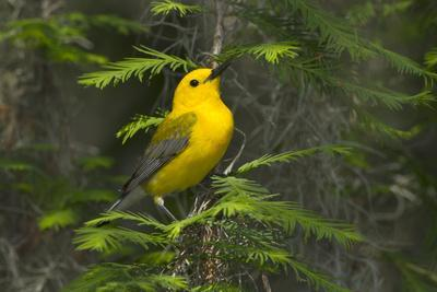 https://imgc.allpostersimages.com/img/posters/prothonotary-warbler-male-on-breeding-territory-texas-usa_u-L-PN6L9T0.jpg?p=0